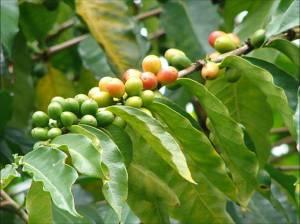 CoffeeBerry2