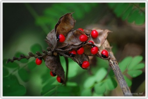 Rosary pea by Mohanraj Kolathapilly (CC BY 2.0)