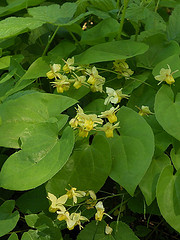 Epimedium pinnatum by Dennis Korablyov