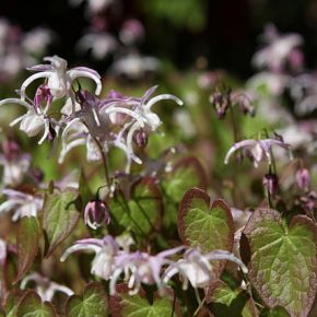 Love Poison, For Him: Horny GoatWeed
