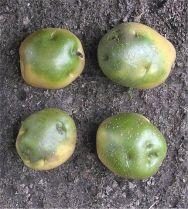 Green potatoes by Aardappel Knollen