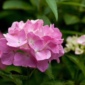 Hydrangea Highs and Cyanide Lows