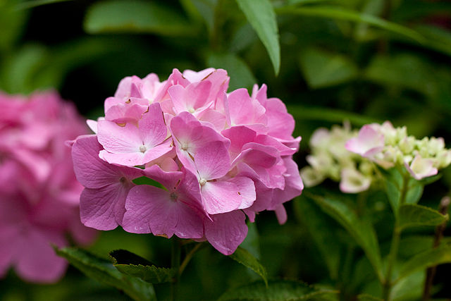 Hydrangea Highs and Cyanide Lows   Nature's Poisons