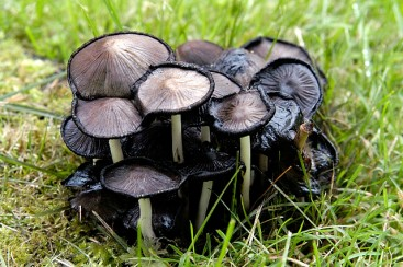 Ink cap mushroom by James Lindsey (CC 3.0)