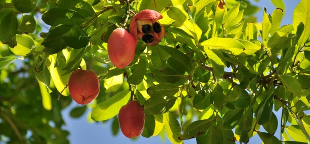Akee fruit by Loren Sztajer (CC BY-ND 2.0)