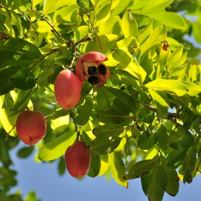 Ackee Fruit: Deadly and Delicious