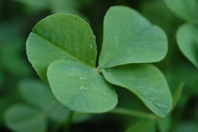 Shamrocks: Lucky for us, not your pets