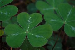 Shamrock by Gray Malkyn (CC)