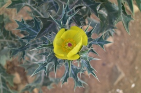 Sanguinarine: Mexican Prickly Poppy, Toothpaste, and Epidemic Dropsy