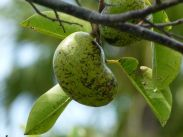 Manchineel fruit by Barry Stock via Flickr (CC BY-SA 2.0)