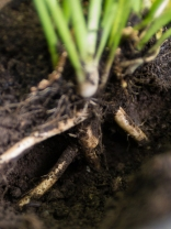 Horseradish roots by Justin Brower
