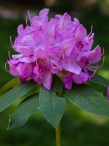 Rhododendron by Justin Brower