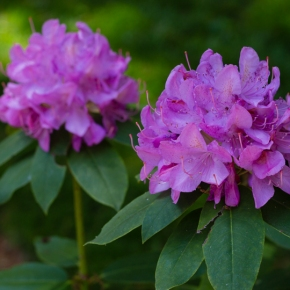 Grayanotoxins: Of Rhododendrons and Mad Honey