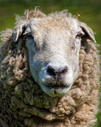 Sheep by MiqsPix via Flickr (CC BY 2.0)