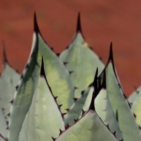 Agave: And Then There was Tequila . . . and Dermatitis