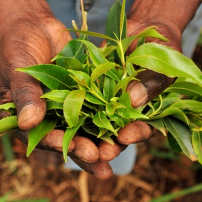 Khat: History, Chemistry and Moral Panic