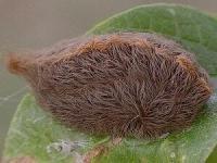 Puss moth caterpillar by Valerie Bugh (c) (AustinBug.com)