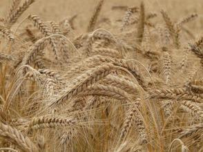 Wheat by Hans (Public Domain CC0)