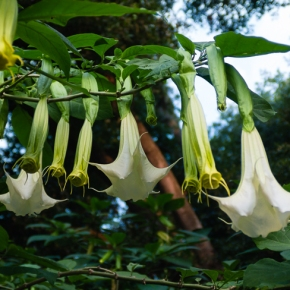Brugmansia: Angel's Trumpet or the Devil's?