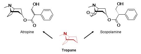 Tropane alkaloids - scopolamine atropine
