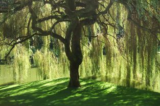 Willow Tree by Geaugagrrl (released to public domain CC0)