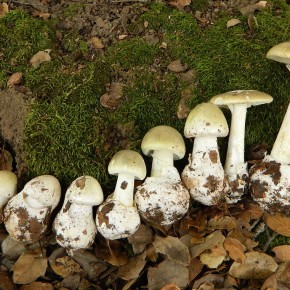 The Death Cap Mushroom . . . It's as Bad as it Sounds