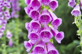 Digitalis purpurea by Elena Donchenko (released to public domain CC0)