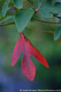 Sassafras albidum leaf by Justin Brower