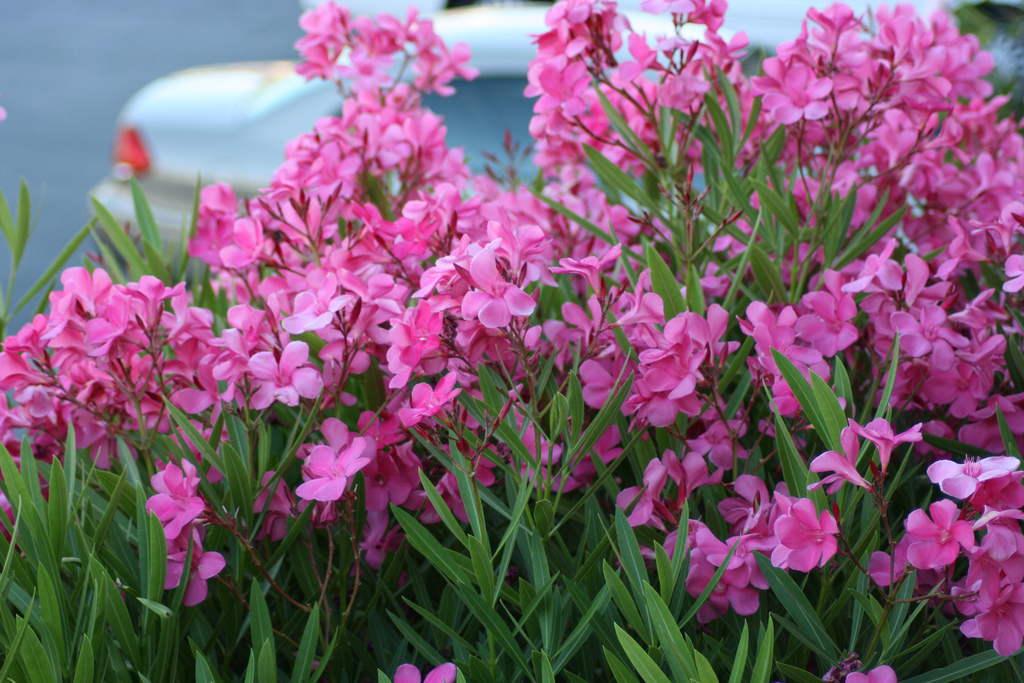 Are oleanders poisonous to dogs