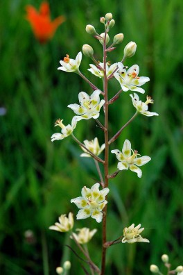 Death Camas (Zigadenus elegans) by Peter Gorman (CC BY-NC-SA 2.0)