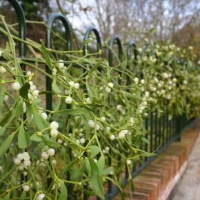 Mistletoe: Passionate Plant or PoisonousParasite?