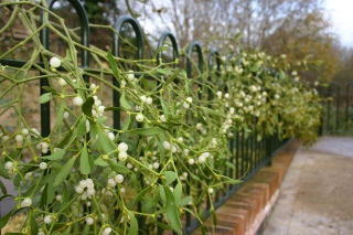 Mistletoe by Bluefuton (CC BY-NC-ND 2.0)