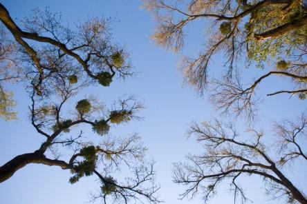 Mistletoe Infestation by Orin Zebest (CC BY 2.0)