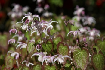 Epimedium by Brewbooks (CC BY-SA 2.0)