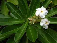 Cerbera odollam by Tau'olunga (CC BY-SA 3.0)
