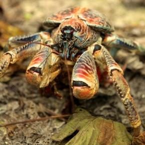 Cerberin: Death by CoconutCrab