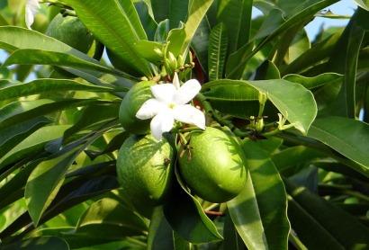 Cerbera manghas by Sarangib (CC 0)