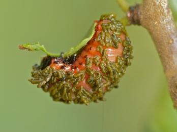 Diamphidia vittatipennis larva by Bernard DuPont (CC BY-SA 2.0)