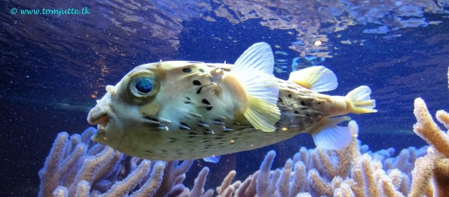 Pufferfish by Tom Jutte (CC BY-NC-ND 2.0)