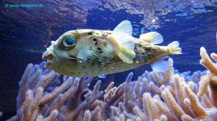 Pufferfish by Tom Jutte (CC BY-NC-ND 2.0)
