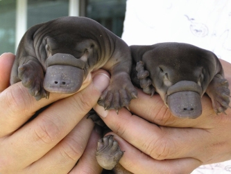 Baby Platypus by LandLearn NSW (CC BY-NC-SA 2.0)