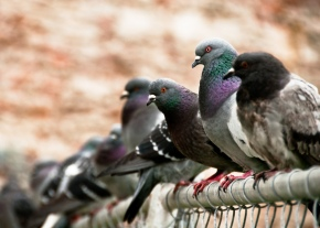 Thallium: The Perfect Pigeon Poison?