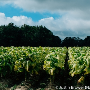Green Tobacco Sickness: The Plight of TobaccoHarvesters