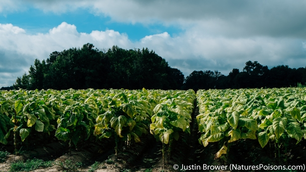 Tobacco field by Justin Brower