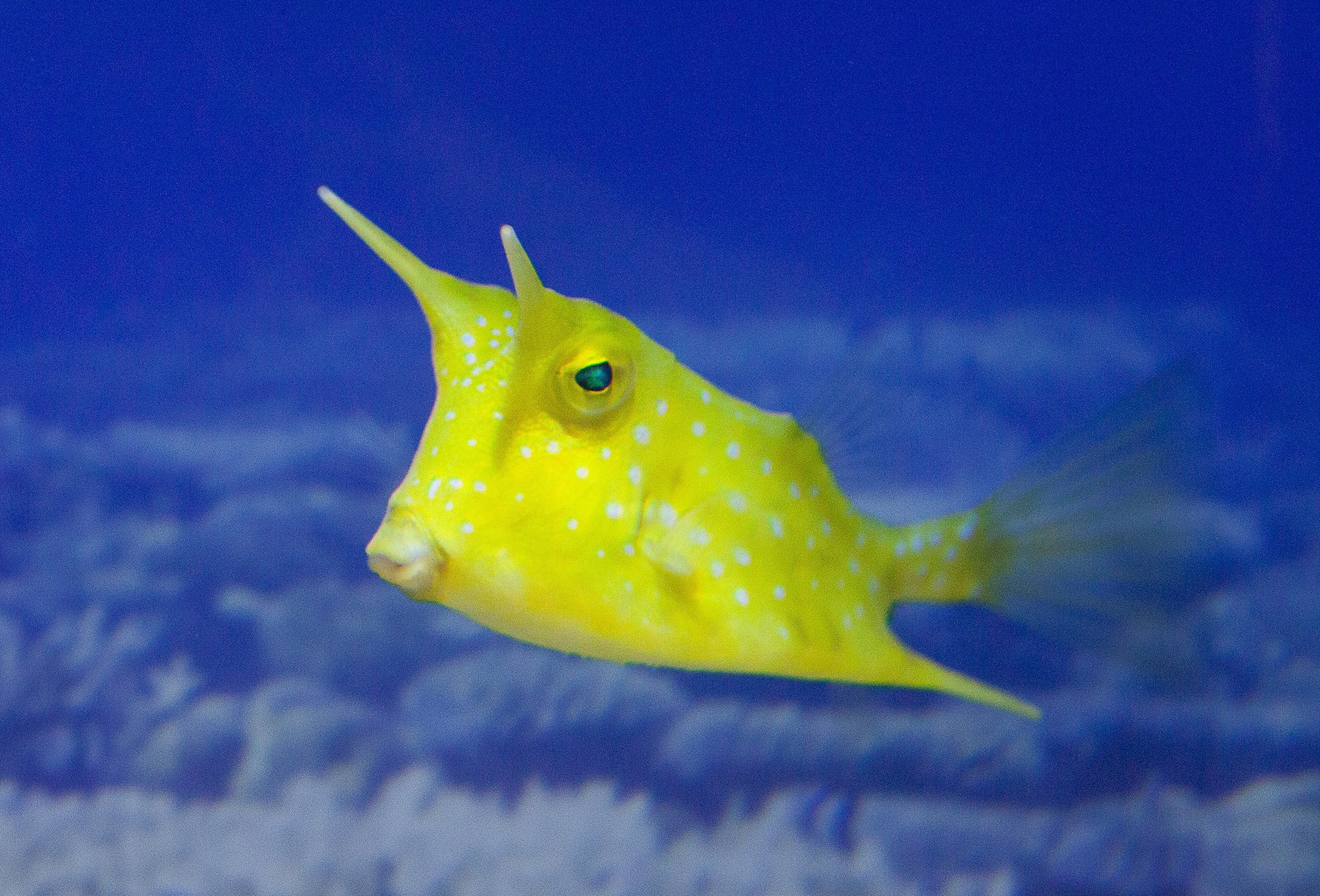 Cowfish the mutant superheroes of the ocean nature 39 s for Image of fish