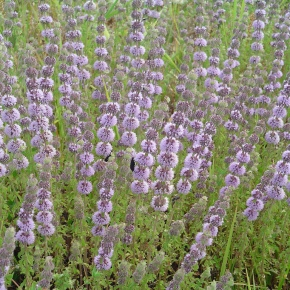 Pennyroyal: Nature's Herb or Abortifacient?