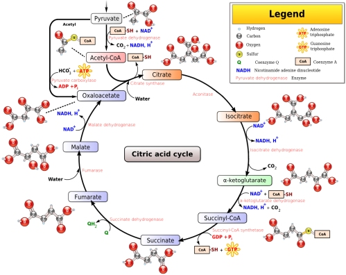 Citric Acid Cycle