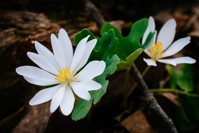 Bloodroot: The Harbinger of Spring That Will Melt Your Face Off