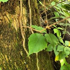 Poison Ivy by geocacher D. Mott