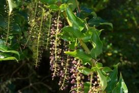 Coriaria arborea (tutu) by John Sullivan (CC BY-NC-2.0)